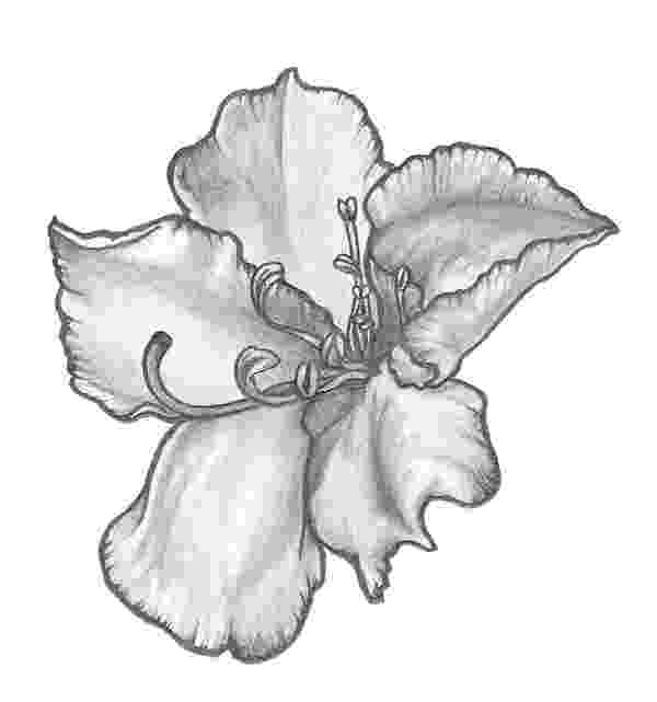 maryland state flower 50 state flowers free coloring pages american flowers week state flower maryland