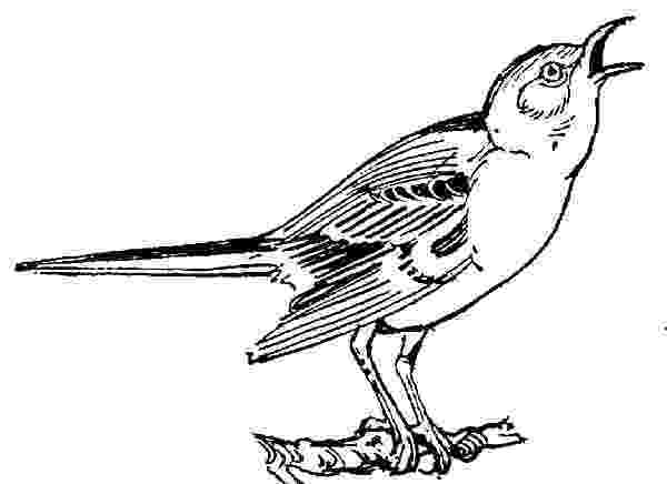 mockingbird coloring page mockingbird mockingbird outline coloring pages mockingbird coloring page
