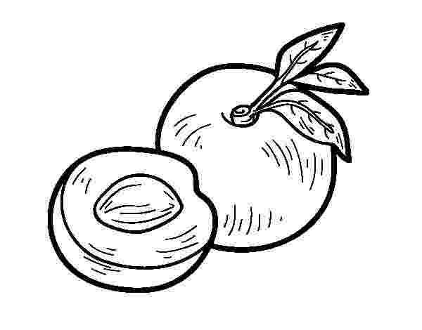 nectarine color nectarine and cross section coloring page free printable color nectarine