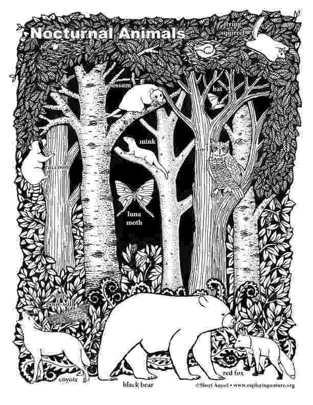 nocturnal animal colouring sheets members only october classroom kindergarten fun animal colouring sheets nocturnal