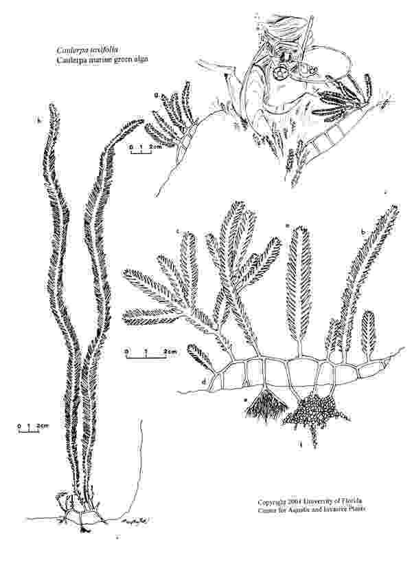 ocean plants coloring pages marine plant coloring download marine plant coloring for pages coloring ocean plants