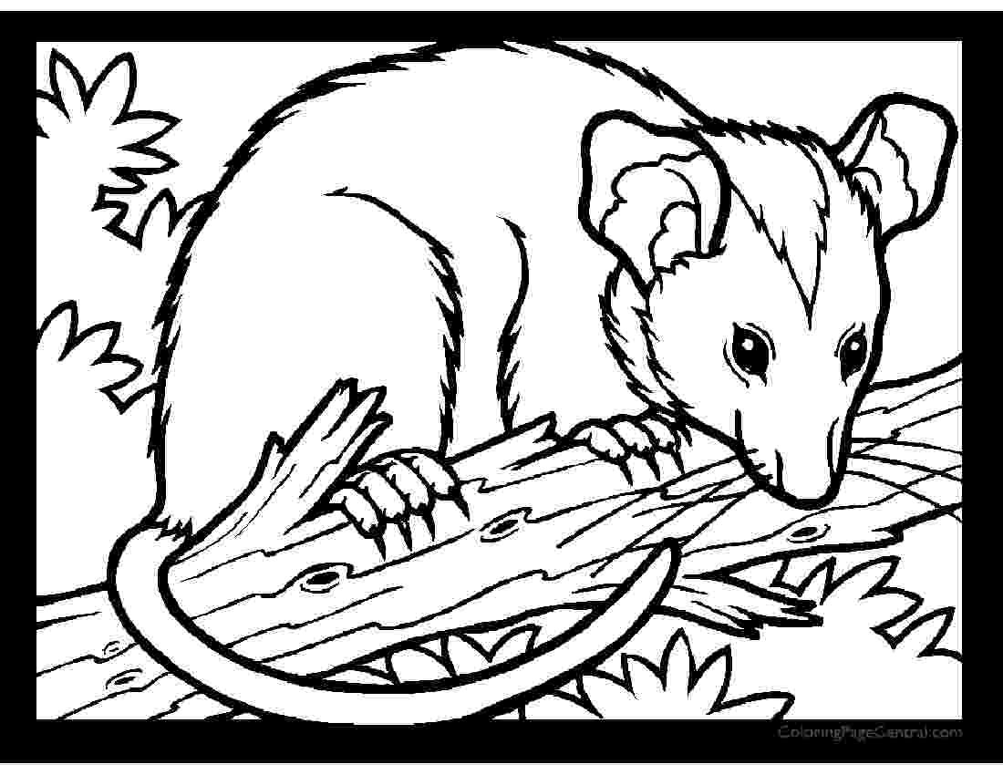 opossum pictures to print opossum coloring pages to download and print for free pictures to opossum print