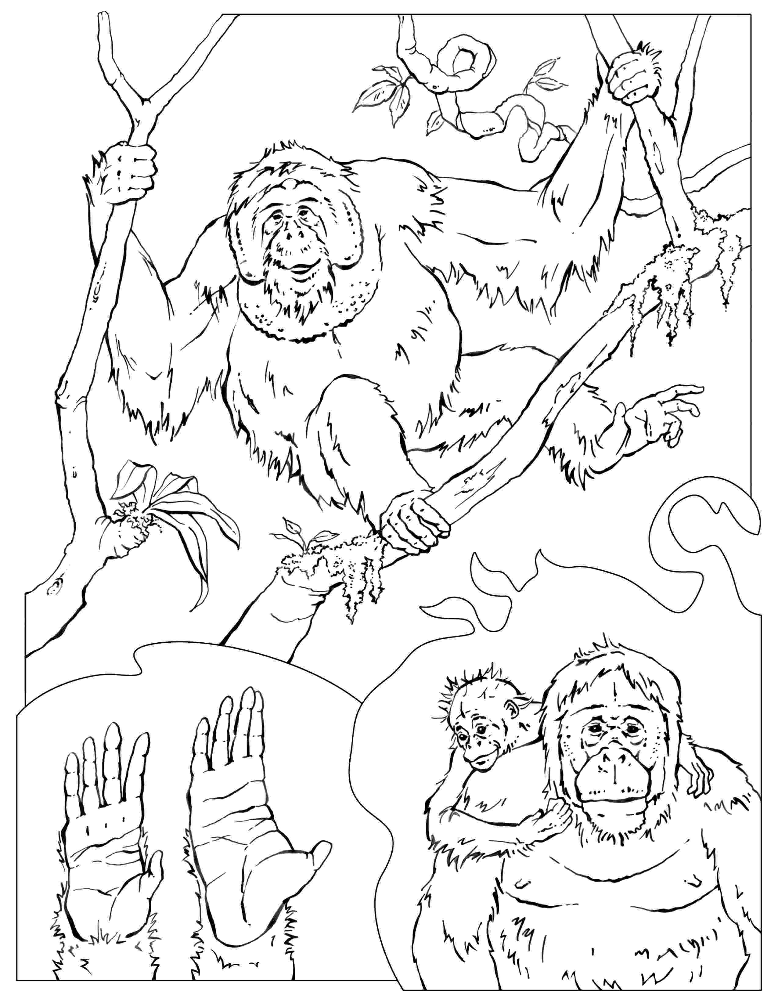 orangutan coloring page orangutan coloring page coloring home coloring orangutan page