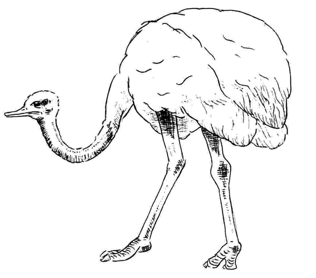 ostrich coloring page free printable ostrich coloring pages for kids coloring ostrich page