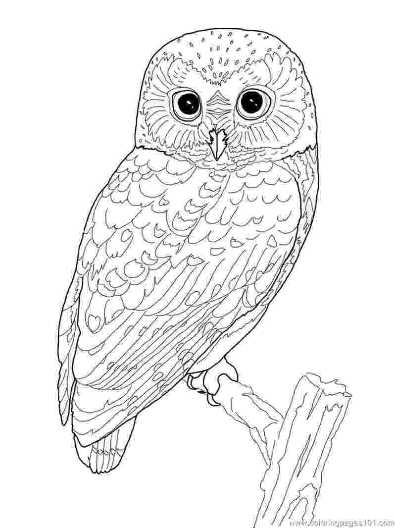 owl coloring pages to print owl template animal templates free premium templates to owl print pages coloring