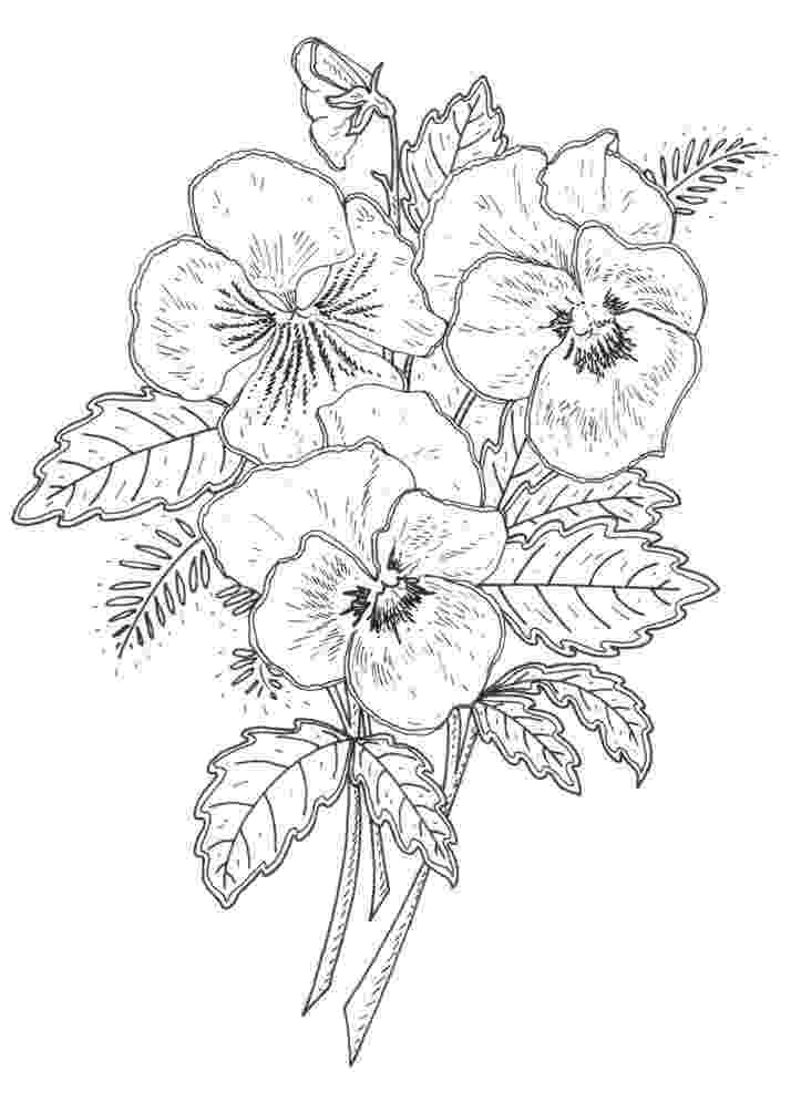 pansy coloring page coloring page pansy free printable coloring pages pansy page coloring