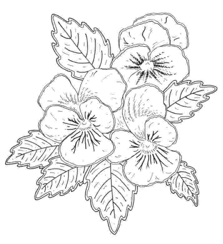 pansy coloring page free download coloring pages quotpansiesquot flower coloring coloring pansy page