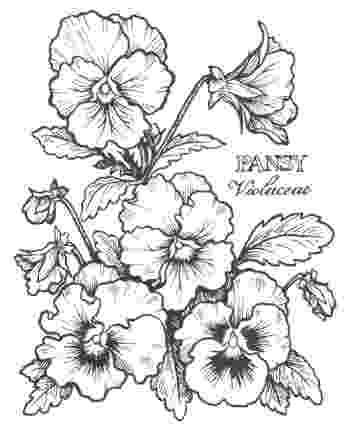 pansy coloring page online coloring pages starting with the letter p page pansy coloring