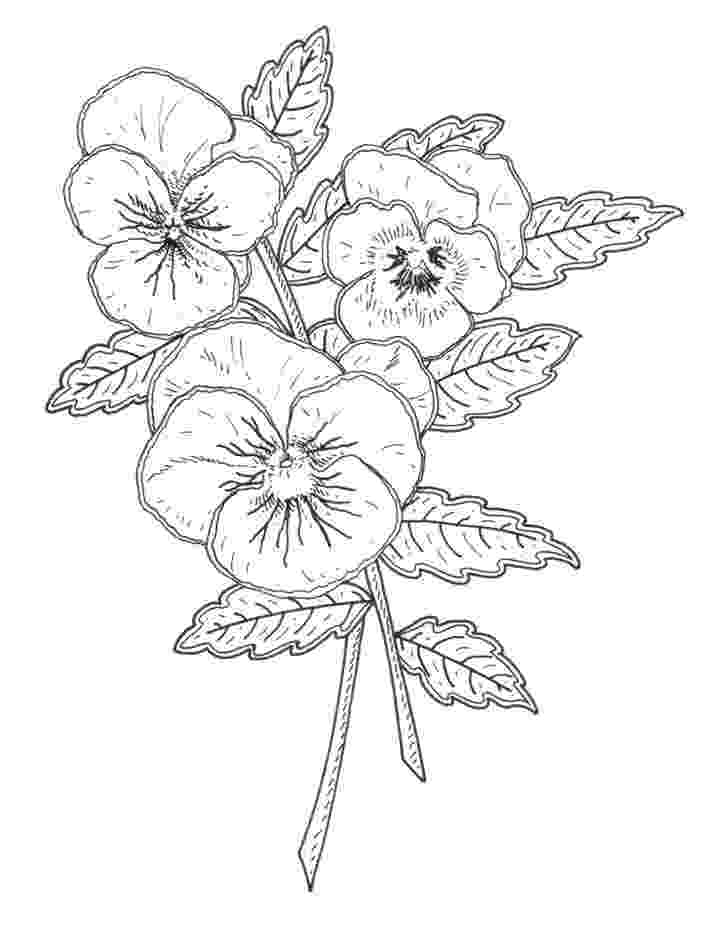 pansy coloring page pansies coloring pages coloring pages to download and print coloring pansy page