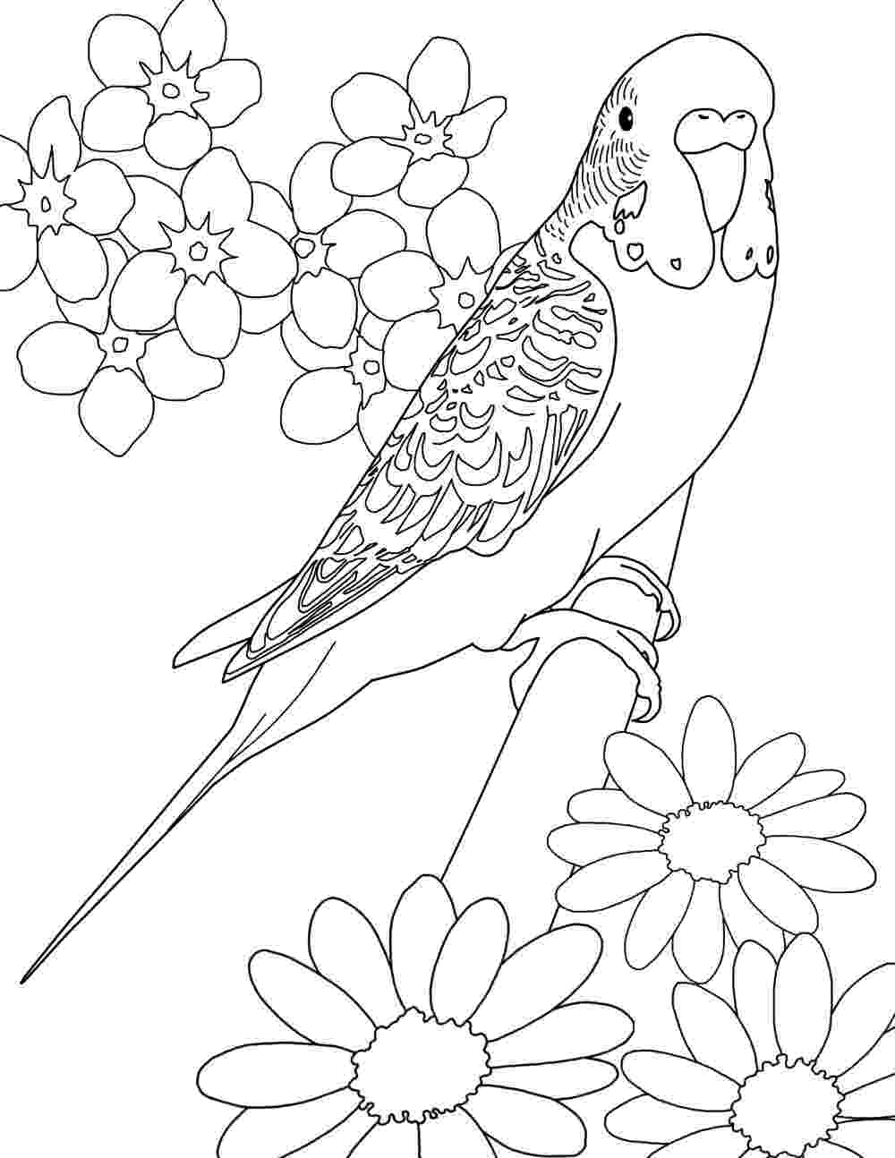 parakeet coloring pages parakeet coloring pages my parakeet clarabelle pages parakeet coloring