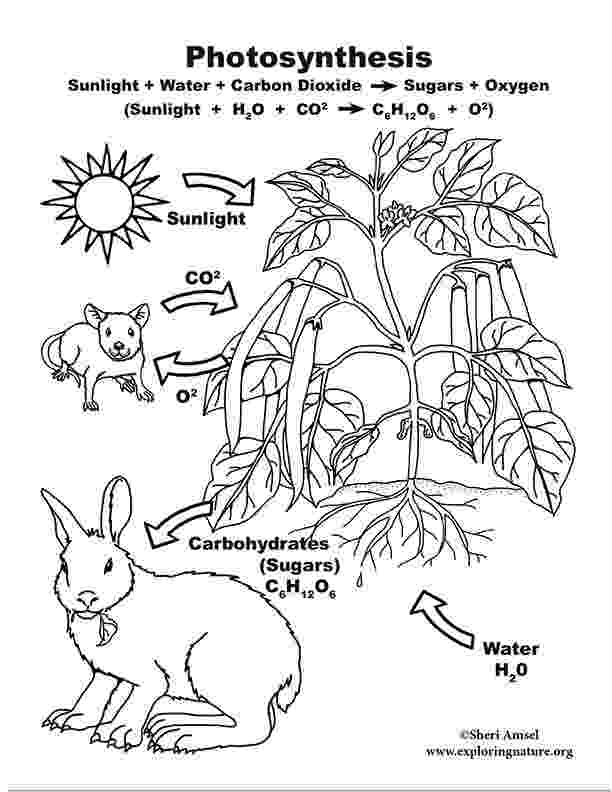 photosynthesis coloring sheet photosynthesis poster 2d model for 6 8th grade photosynthesis sheet coloring