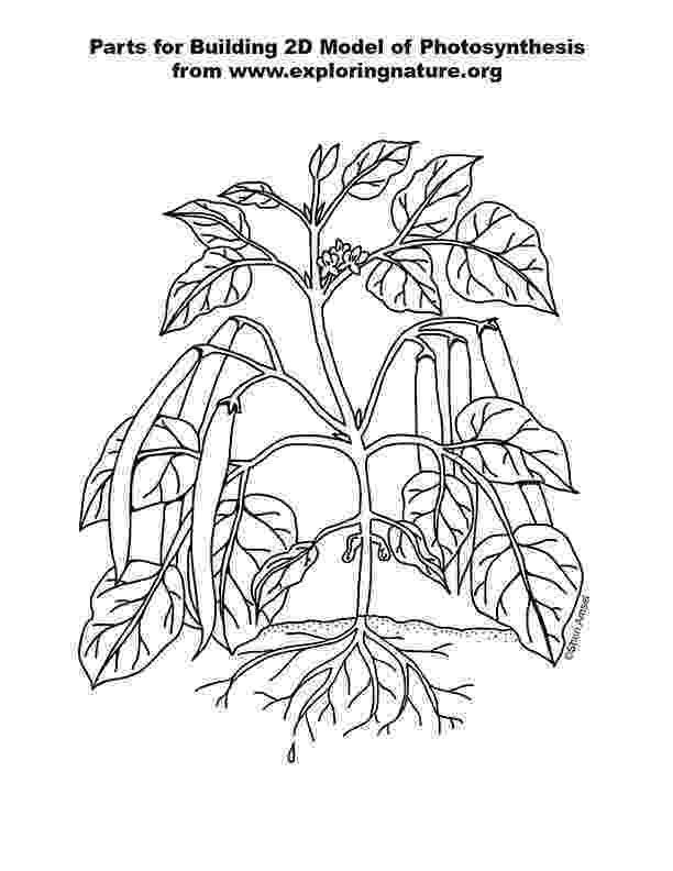 photosynthesis coloring sheet photosynthesis poster 2d model for k 2nd grade photosynthesis coloring sheet