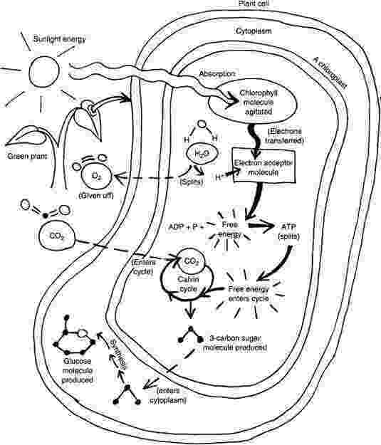 photosynthesis coloring sheet photosynthesis worksheets homeschooldressagecom sheet coloring photosynthesis