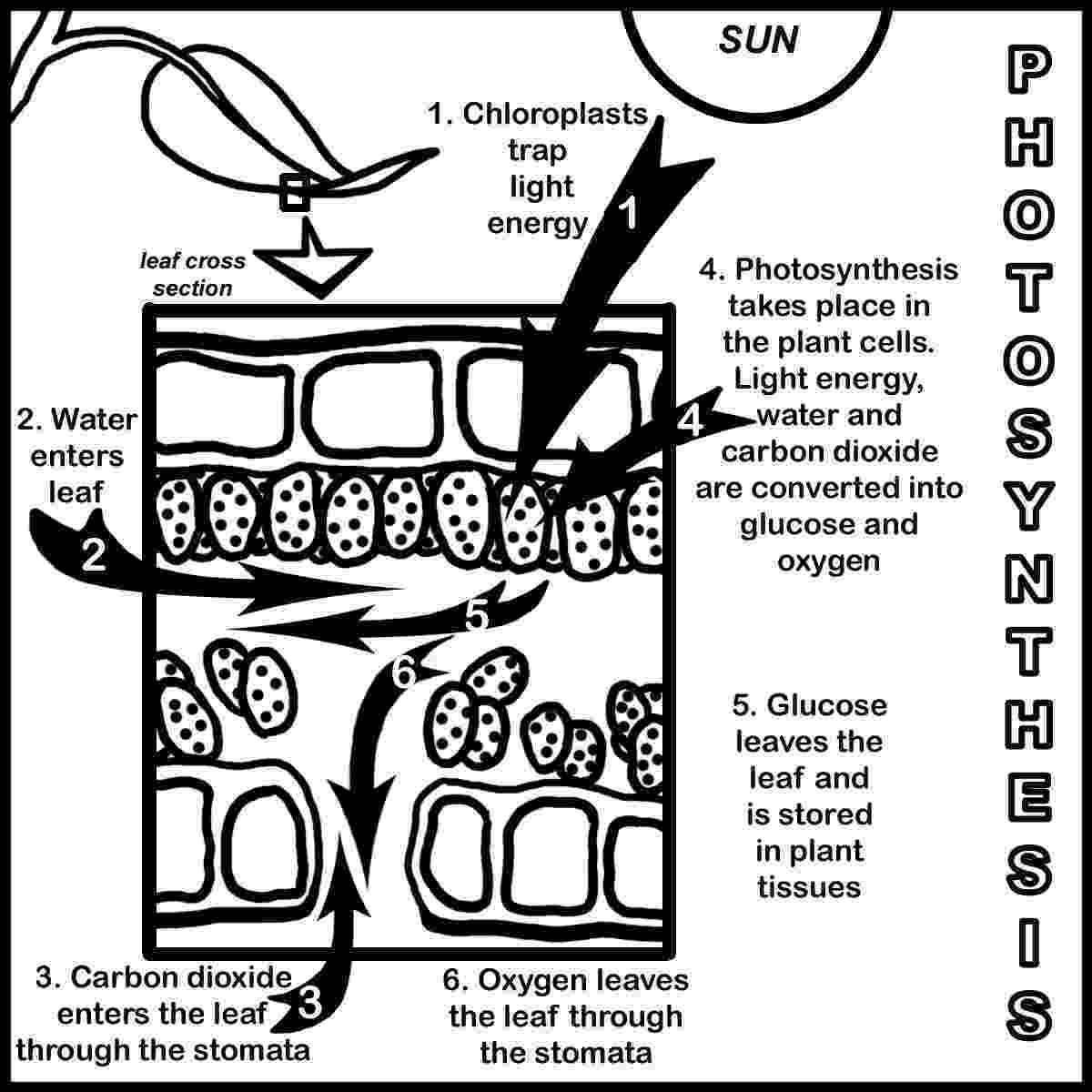 photosynthesis coloring sheet this is showing the process of photosynthesis science sheet photosynthesis coloring
