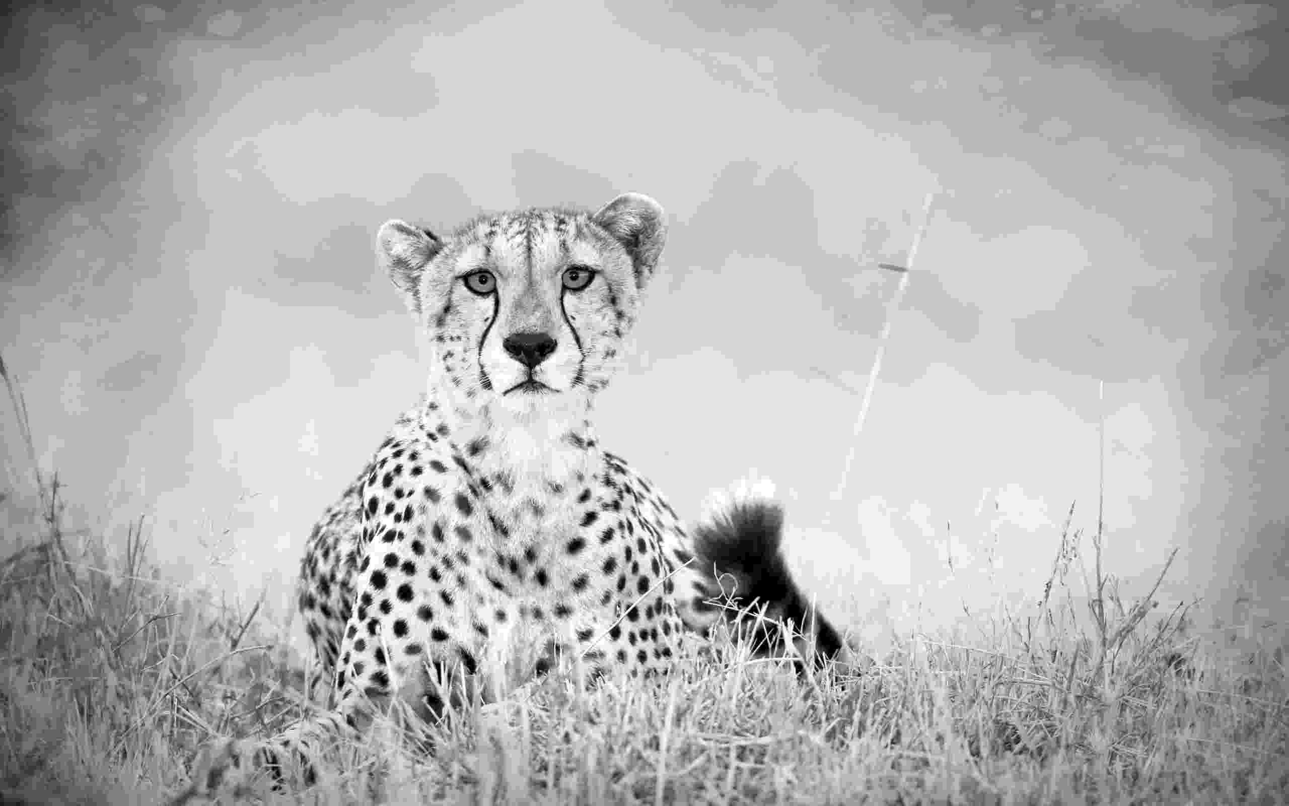picture of a cheetah 1000 images about big cats snow leopard and cheetah are picture of a cheetah