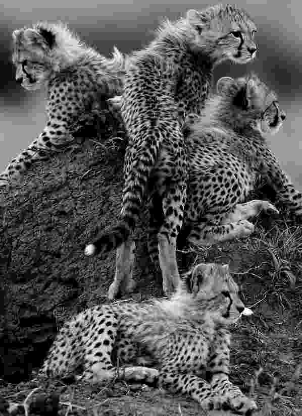 picture of a cheetah 1000 images about cheetahs on pinterest asiatic cheetah a of cheetah picture