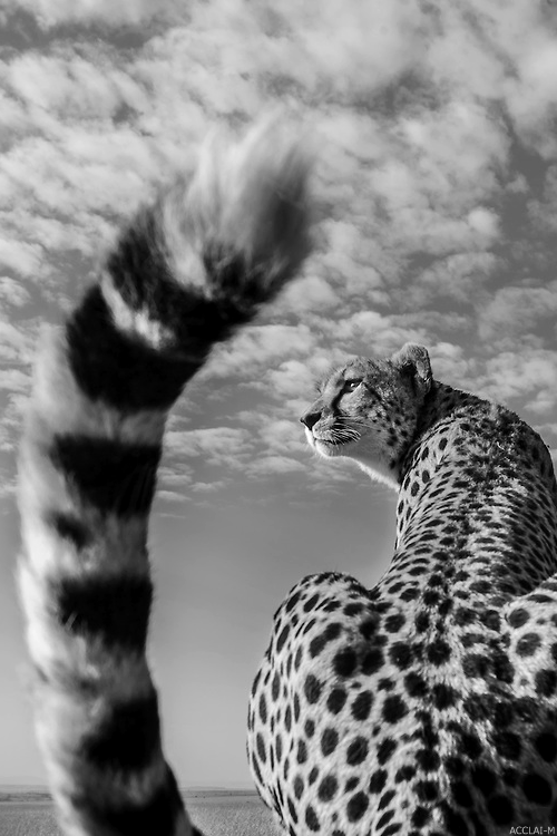 picture of a cheetah 29 best images about cheetahs on pinterest cats mothers cheetah picture a of