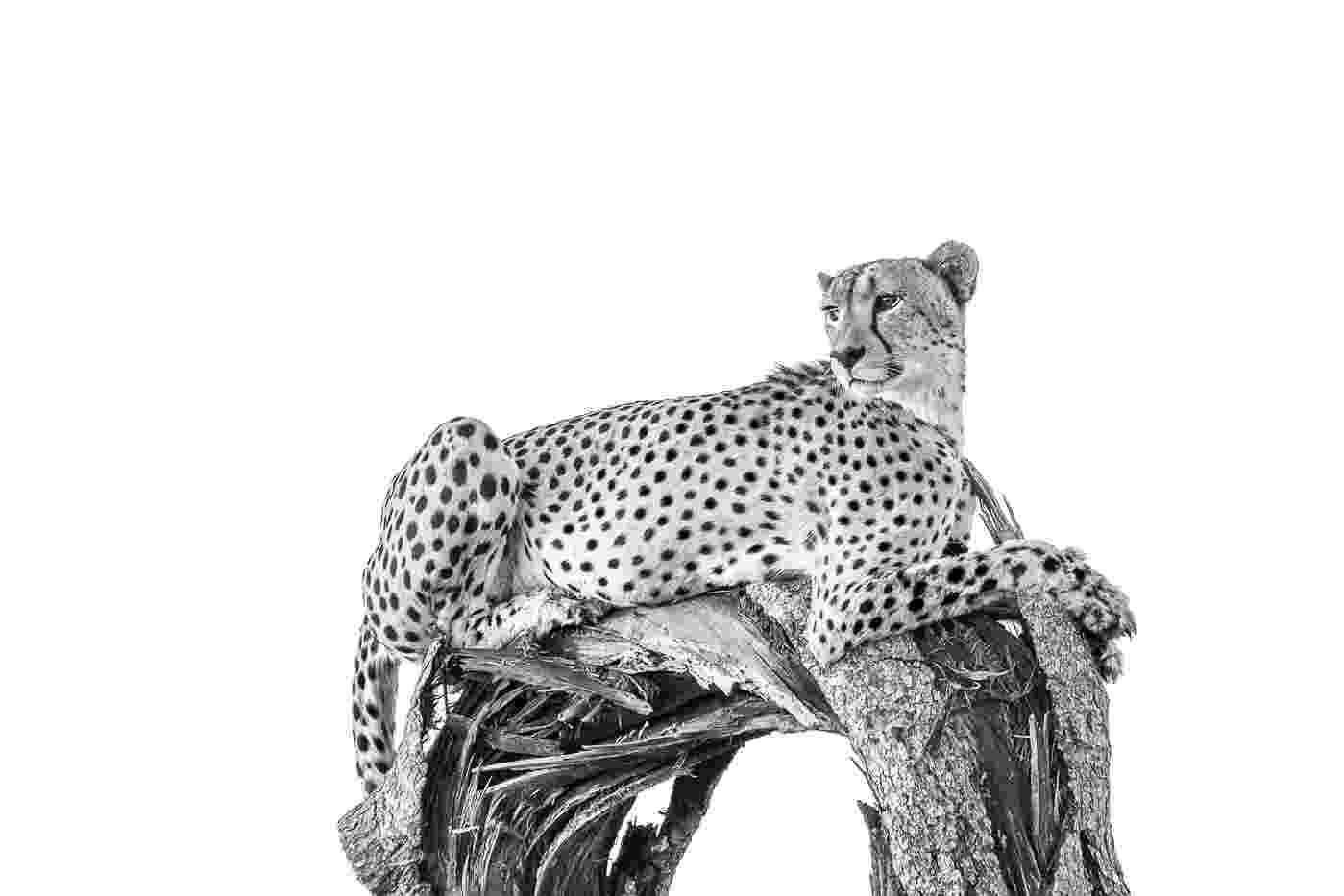 picture of a cheetah 491 best cheetahs images on pinterest big cats animal cheetah picture a of