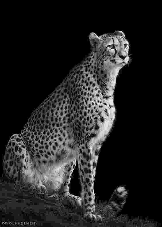 picture of a cheetah 60 best award winning wildlife photography examples a cheetah of picture