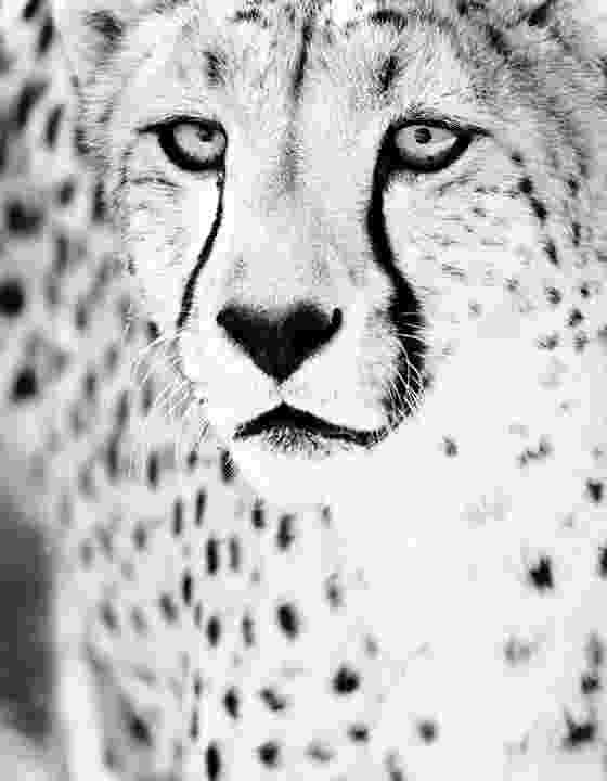 picture of a cheetah a dry year why this may be a good thing for wildlife a cheetah of picture