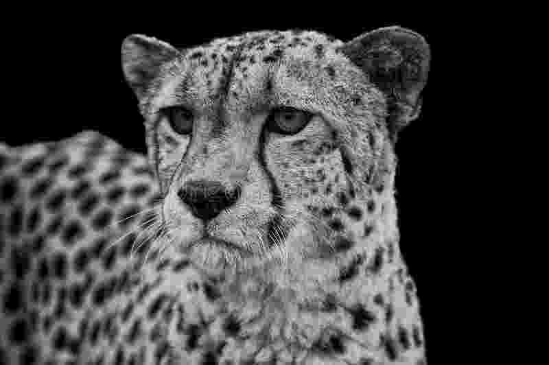 picture of a cheetah big cat all creatures great small of cheetah picture a