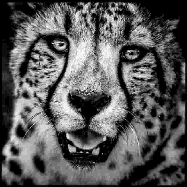 picture of a cheetah black cheetah wallpapers wallpaper cave a picture of cheetah