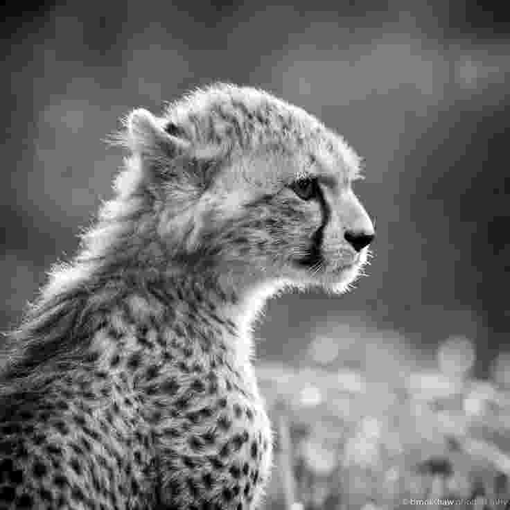 picture of a cheetah cheetah black and white wallpapers black and white picture cheetah a of