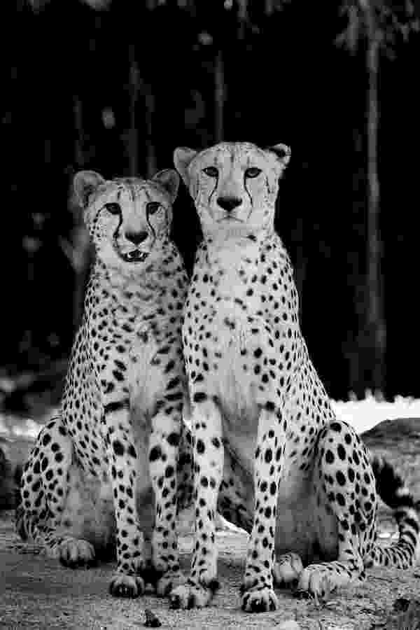 picture of a cheetah cheetah black and white wallpapers black and white picture cheetah of a