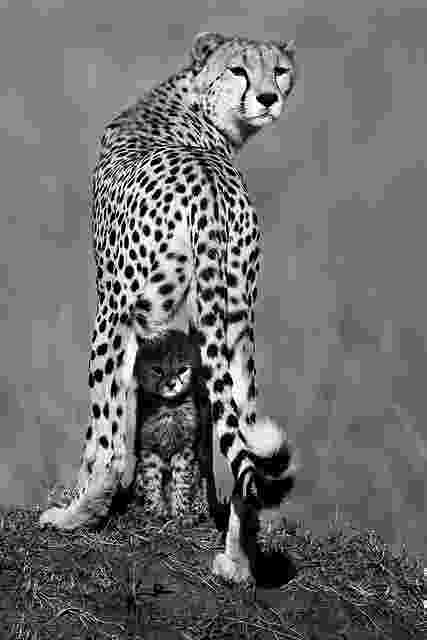 picture of a cheetah cheetah in black white copyright by wwwpfotografinfo picture of cheetah a