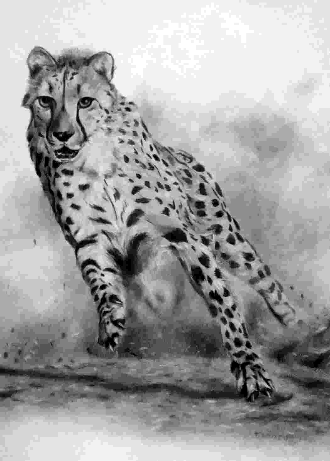 picture of a cheetah cheetah in black white simonbowlerphotos a cheetah of picture