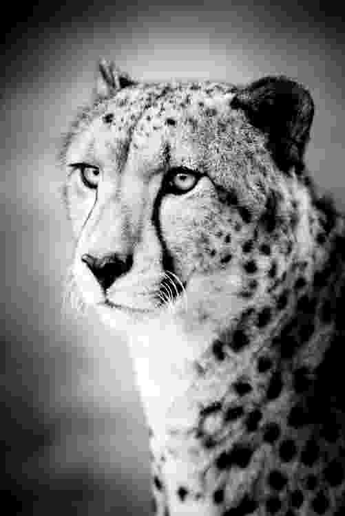 picture of a cheetah honour among thieves leopard steals cheetah39s kill cheetah picture a of