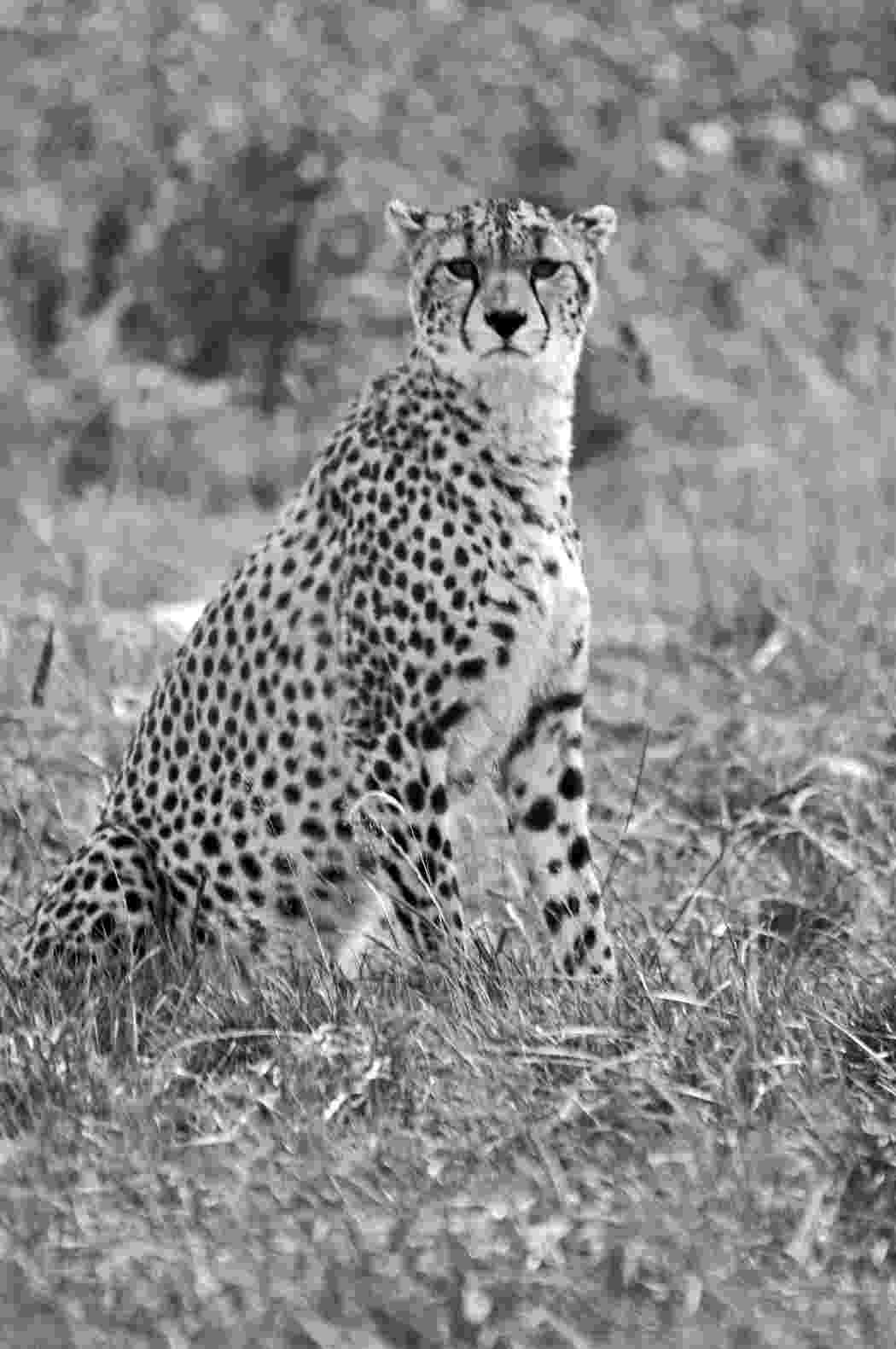 picture of a cheetah pinterest the worlds catalog of ideas of a picture cheetah