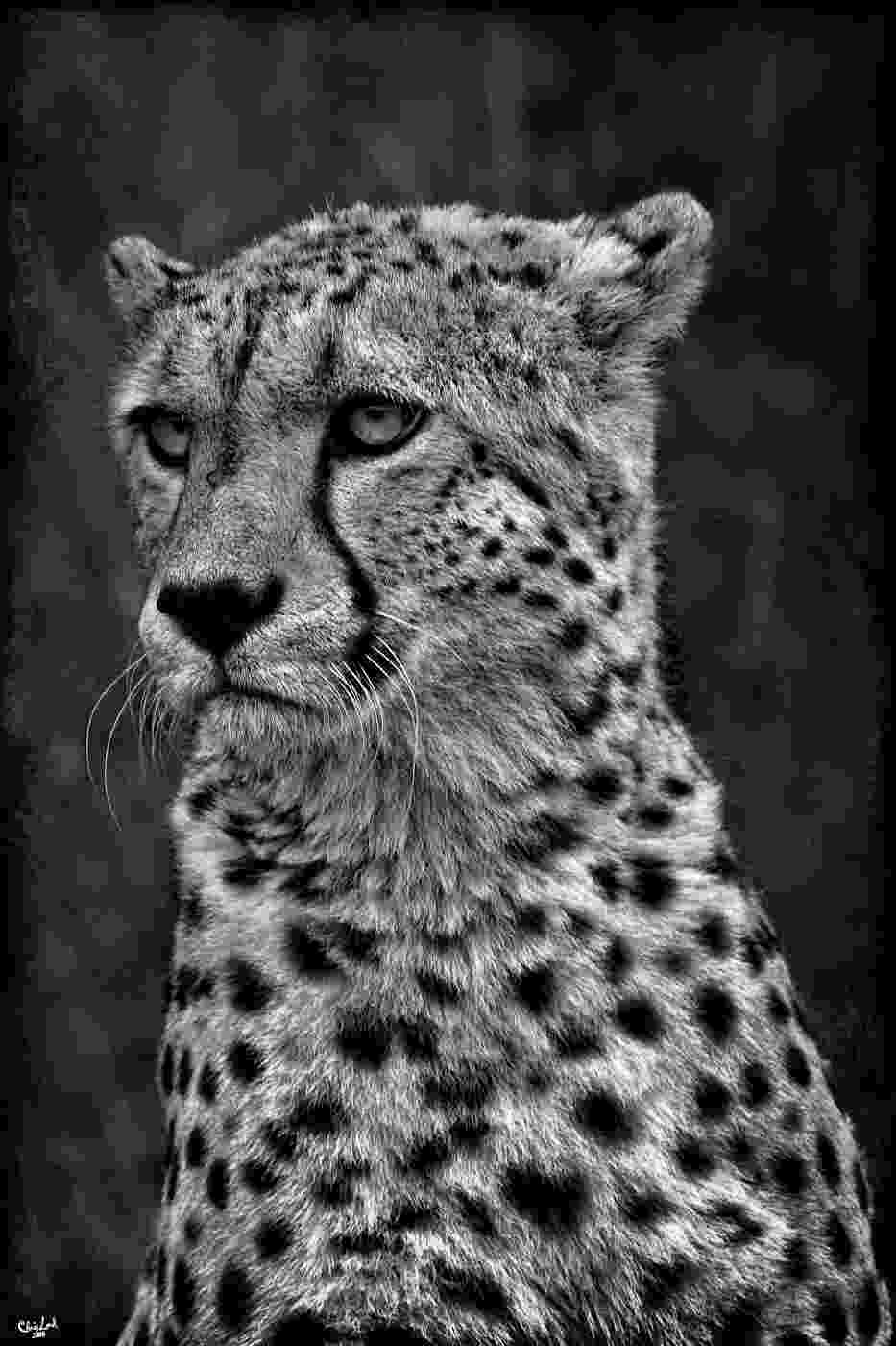 picture of a cheetah portrait of cheetah in black and white stock photo image of a picture cheetah