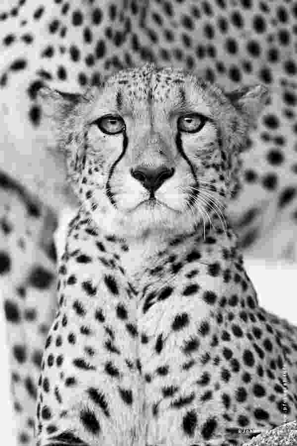picture of a cheetah portrait of leopard in black and white iii photograph by cheetah a of picture