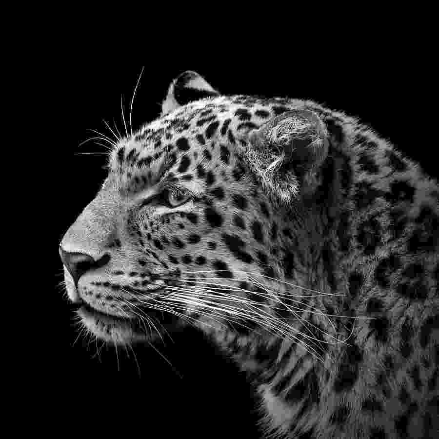 picture of a cheetah white leopard wallpapers wallpaper cave picture cheetah a of