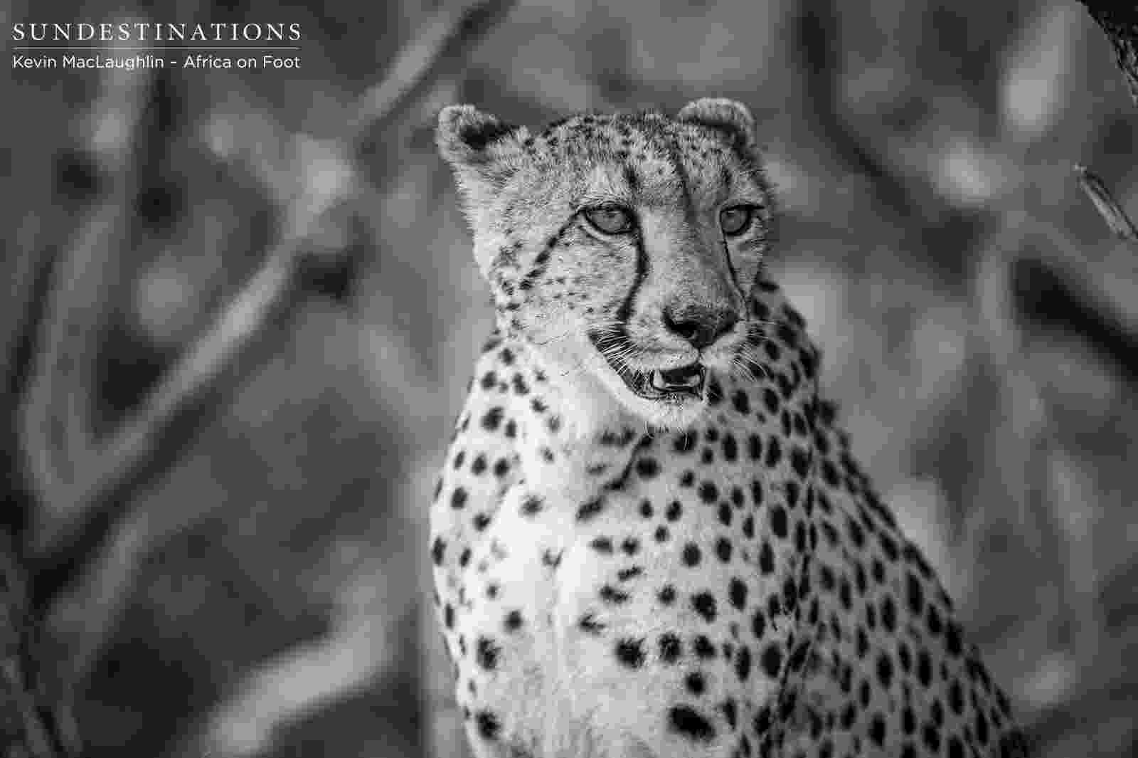 picture of a cheetah wild facts sabi sabi private game reserve the cheetah picture cheetah of a