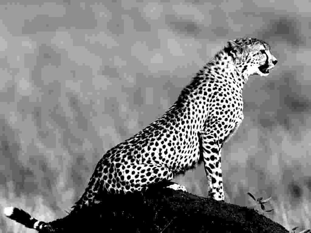 picture of a cheetah words black and white and cheetahs on pinterest of cheetah picture a