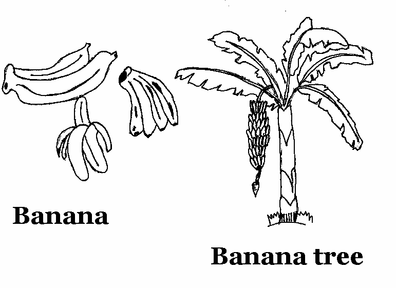 picture of banana for colouring banana clipart black and white colouring picture for banana of