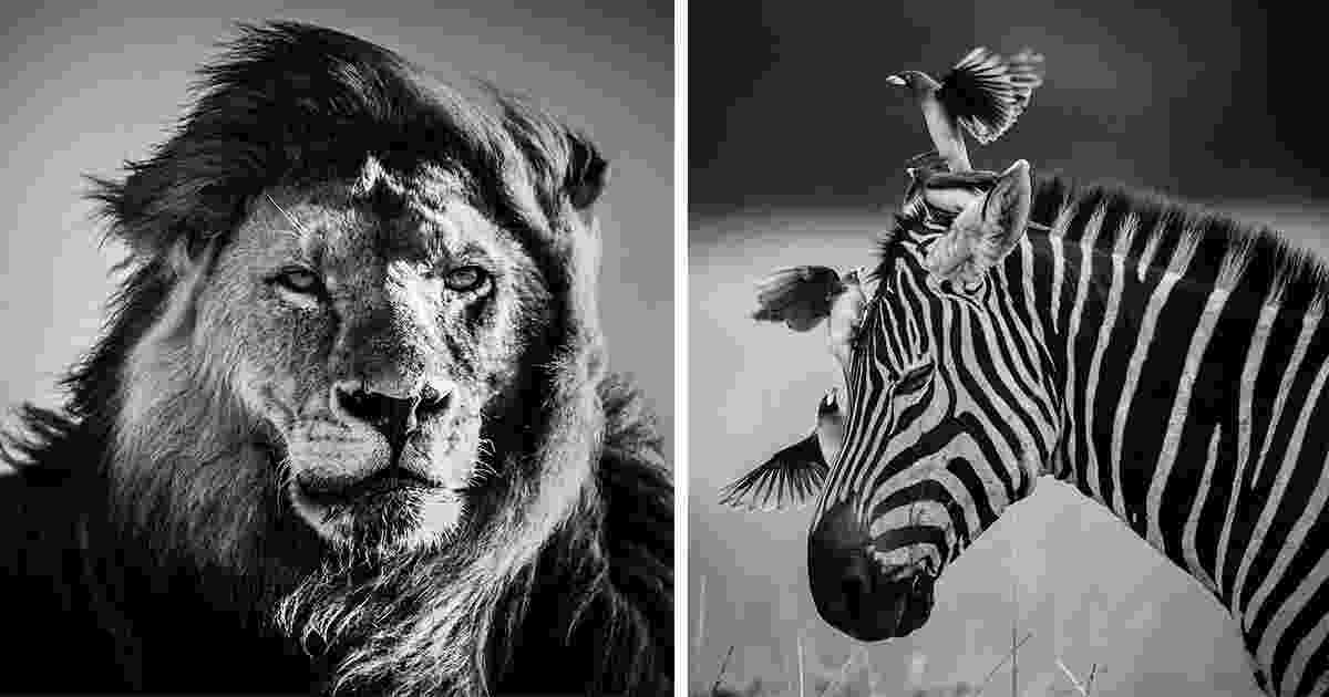 pictures african animals dramatic black and white photos of african wildlife by african pictures animals