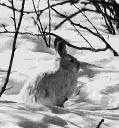 pictures of tundra animals alaska regional profiles northwest region norton sound pictures tundra animals of