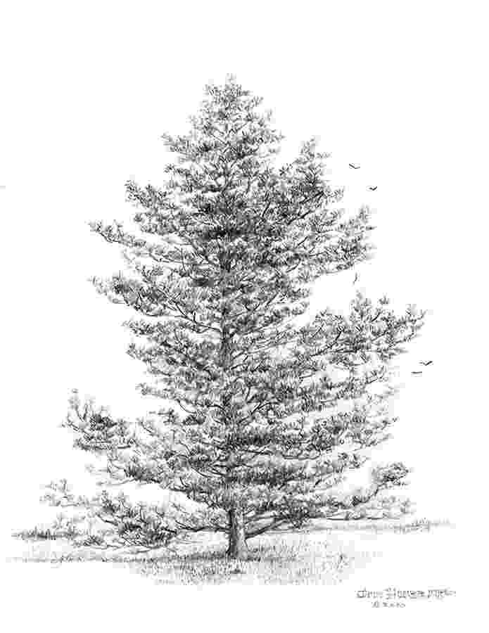 pine tree sketch beccy39s place pine grove pine tree sketch