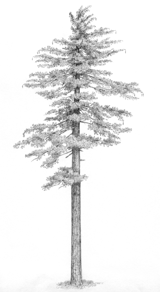 pine tree sketch beccy39s place pine trees sketch tree pine