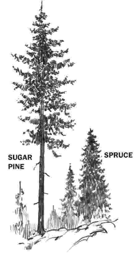pine tree sketch black and white print wall art drawing illustration etsy sketch pine tree