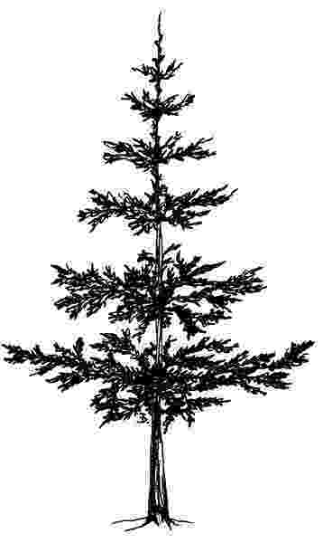 pine tree sketch capture the character of a tree drawing nature joshua tree pine sketch