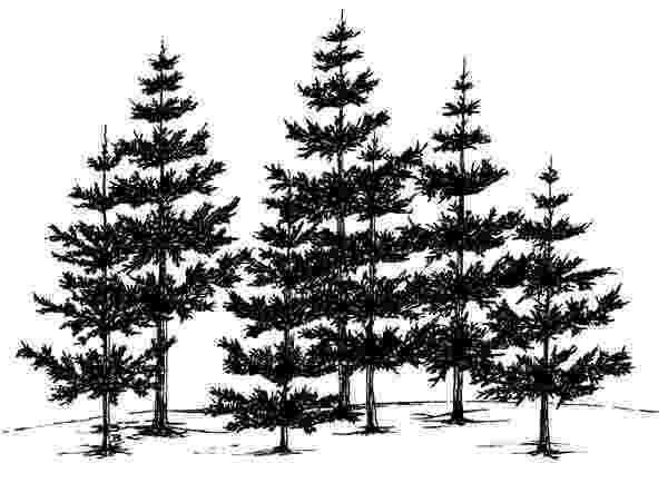 pine tree sketch items similar to pencil zen drawing of a pine tree sketch pine tree
