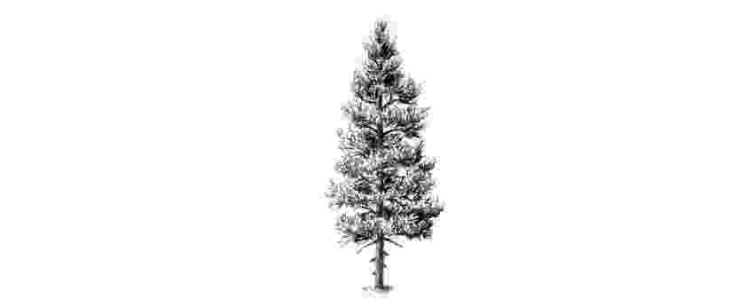 pine tree sketch lucie roberts animator pine tree tree sketch pine