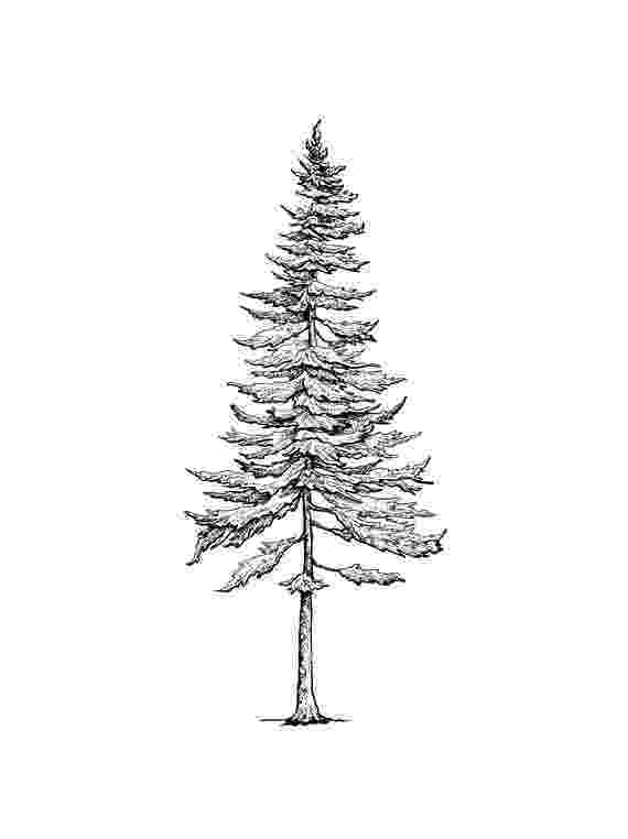 pine tree sketch montana ponderosa pine drawing by jim hubbard sketch pine tree