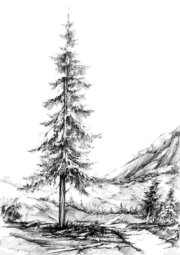 pine tree sketch pine coloring pages to download and print for free sketch tree pine