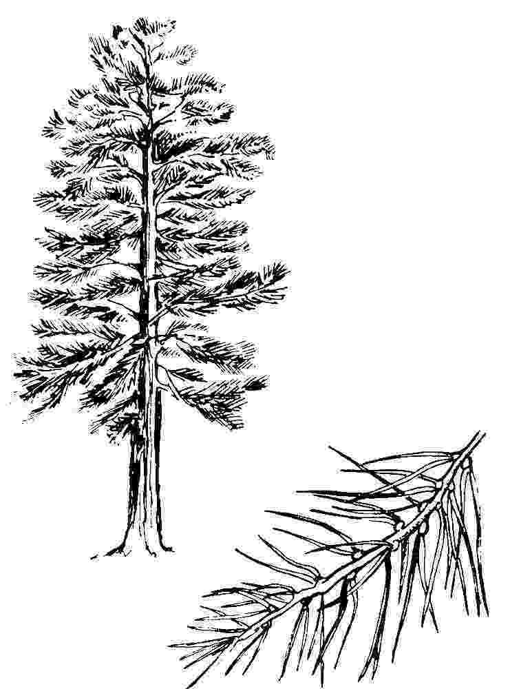 pine tree sketch pine drawing by jim hubbard pine sketch tree