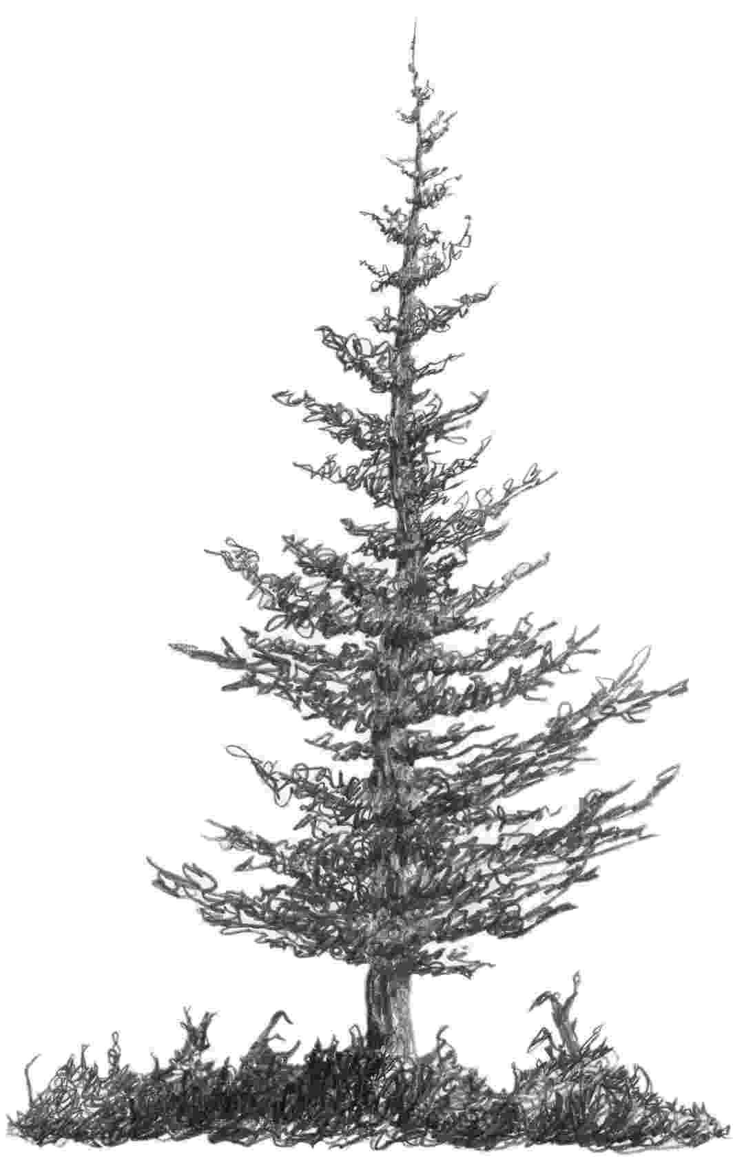 pine tree sketch pine tree in 2019 christmas tree drawings pencil pine tree pine sketch